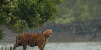 Sundarbans Royal Bengal Tiger
