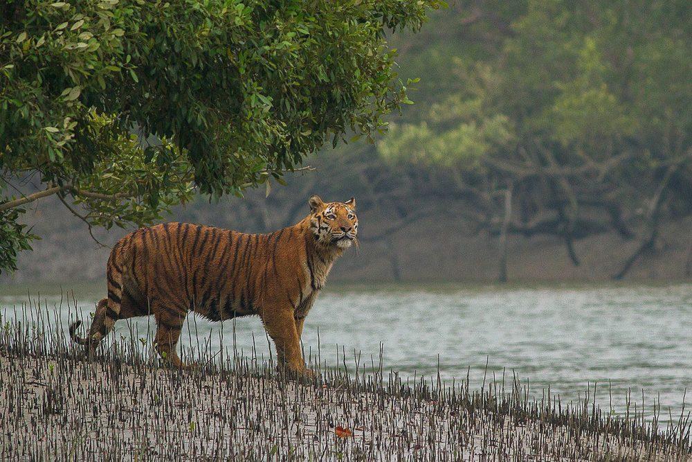 Sundarbans Royal Bengal Tiger