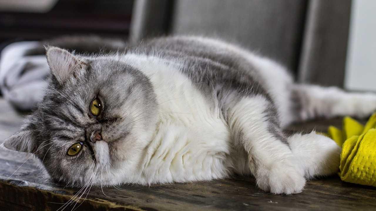 Chubby Cat